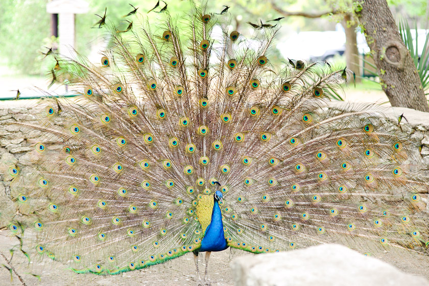 peacock with tail gloriously spread out
