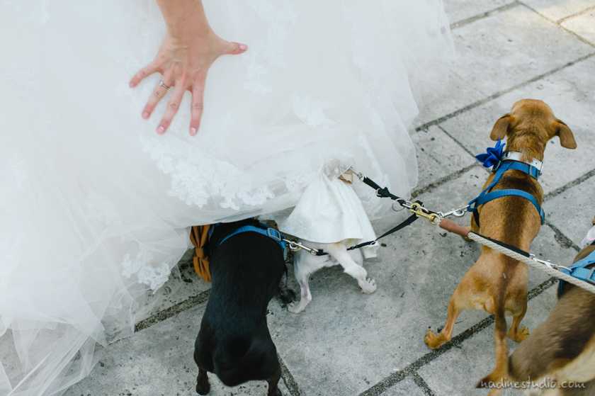flower dogs and ringbearer chihuahuas wedding