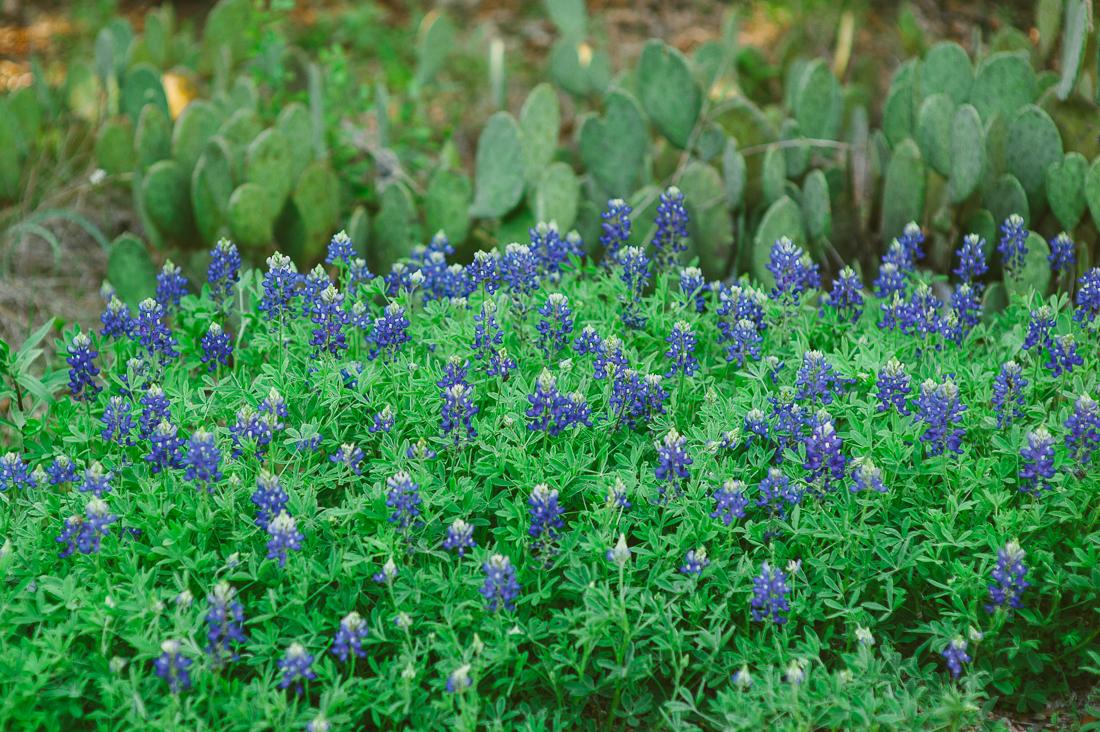 wildflower bluebonnets