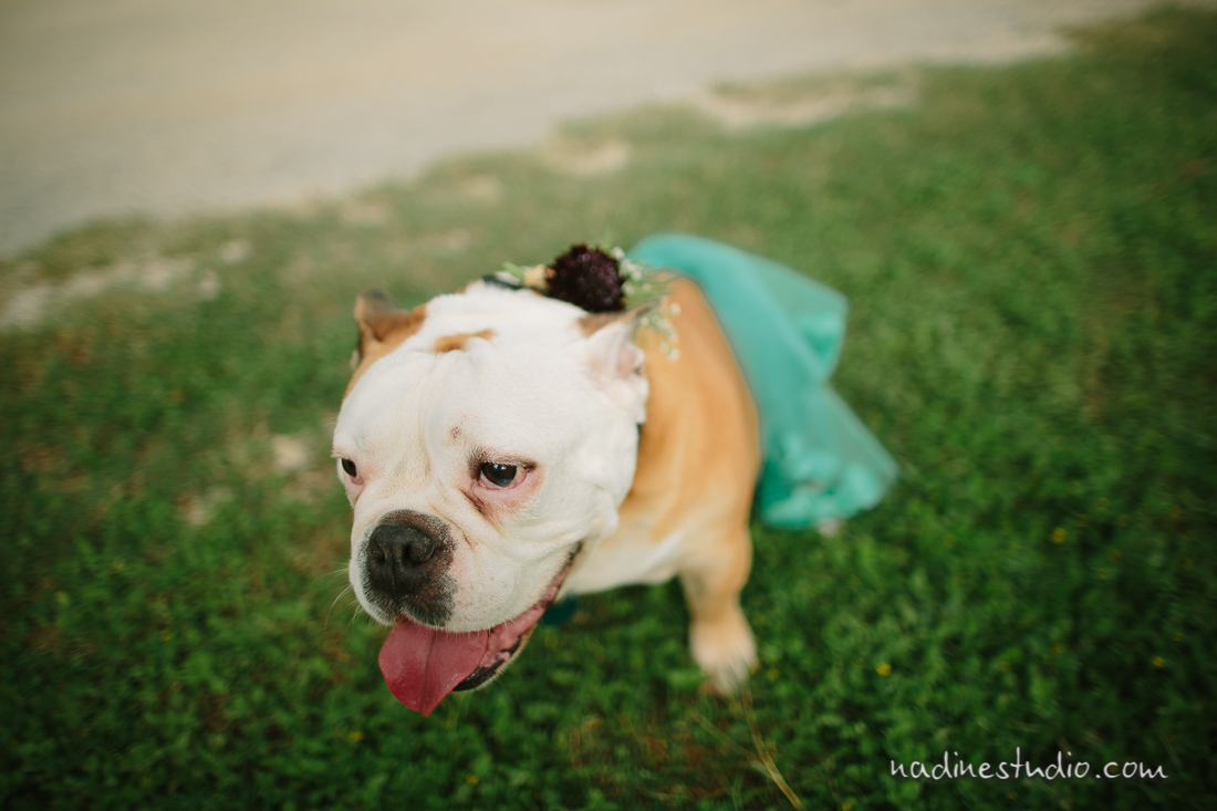 bull dog in a tutu, too freaking cute!
